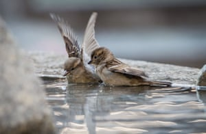 Two sparrows take a bath in a fountain in the center of Frankfurt am Main, Germany