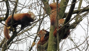 Red pandas at Belfast zoo