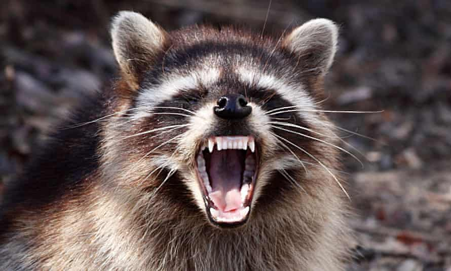 The raccoons had to be 'fended off', according to reports.