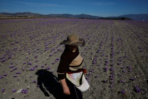 A woman pauses as she harvests saffron flowers at her family's field in Krokos, Greece