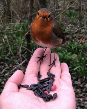 A robin in Longton Brickcroft nature reserve in Lancashire on 18 March.
