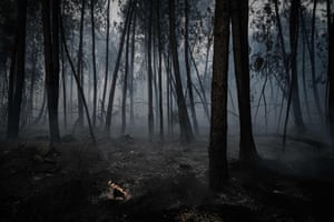 Burned trees after a wildfire destroyed more than 150 hectares of pine trees in southern Gironde.