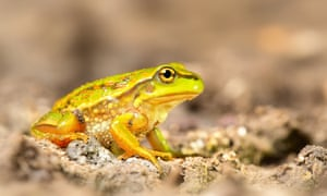 Growling grass frog unlikely to be found at Endeavour Fern Gully, despite Josh Frydenberg saying so.