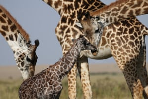 A giraffe tends to her newborn calf in Masai Mara, Kenya