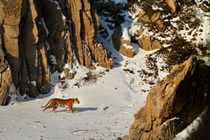 Beautiful rare shot of an Amur tiger taken from a small hut on the side of a cliff in Lazovsky Nature Reserve, Russia