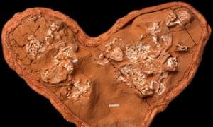 Embryos of the small dinosaur Protoceratops.