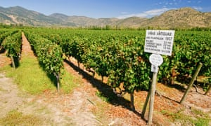 Mountain highs: Chilean wines feature prominently at the Co-op. Notice the grape variety sign in this old vineyard.