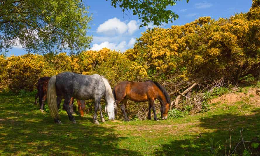 Horses in a field near Silverlake, Dorset.