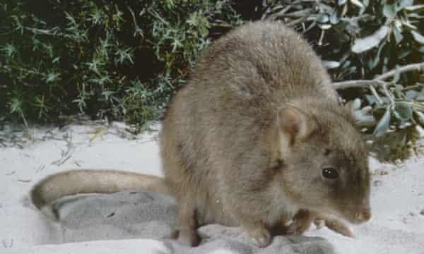 The Australian burrowing bettong