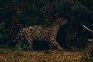A jaguar rubs itself against vegetation as it walks through smoke from a nearby fire in Encontro das Aguas state park in the Pantanal.