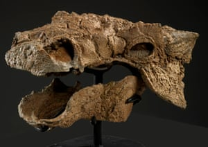Zuul crurivastator's skull. The skeleton is one of the most complete ever found belonging to the ankylosaur group.