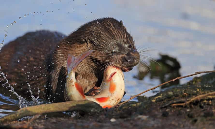 European Otter (Lutra lutra) adult killing Roach fish (Rutilius rutilus) at riverbank European Otters, Thetford, Norfolk, Britain