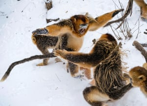 Golden monkeys play at a conservation base in Shennongjia, central China's Hubei Province