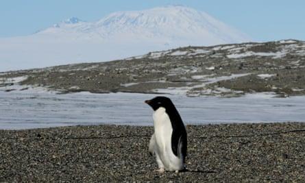 An Adélie penguin near the Antarctic's McMurdo research station.
