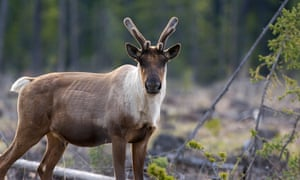 A woodland caribou, whose population in Canada is shrinking. The report is described as the most comprehensive to date, and uses data stretching back to the 1970s.