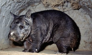 The northern hairy-nosed wombat was in strife until 1971 until Queensland's Epping Forest national park was created to save the last 30. Now there are more than 140.