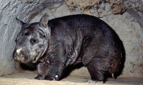 Four Australian mammals deemed under greater threat of extinction