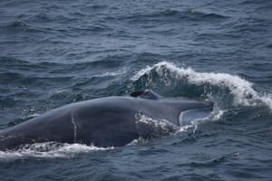 Whales are at risk of getting entangled in fishing nets or struck by ships