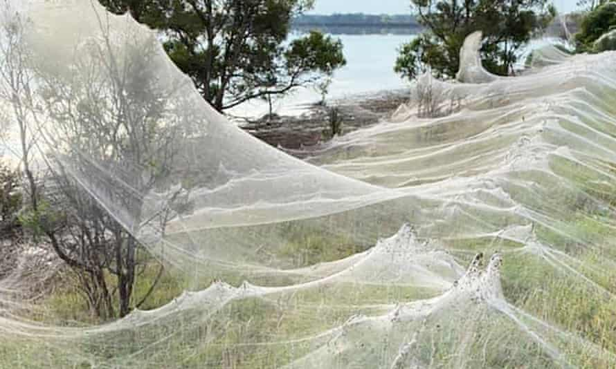 Thousands of spiders have created large webs after the Victoria floods in an attempt to reach higher ground