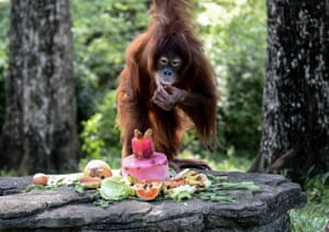 <strong>Kuala Lumpur, Malaysia</strong><br>An eleven-year old female Sumatran Orangutan called Tsunami eats a fruit platter as part of her birthday celebrations at the National Zoo. She was named in commemoration of the Boxing Day Tsunami in 2004 and as a symbol of rebirth and redevelopment of the villages on the west coast of the country