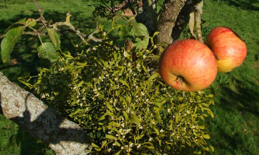 Mistletoe growing in an apple tree