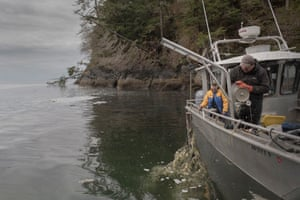 Herring eggs are harvested as hemlock branches and trees are pulled out the water
