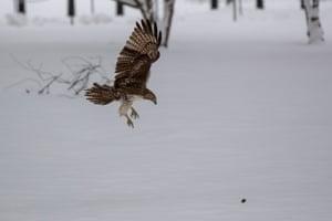 Diving hawk