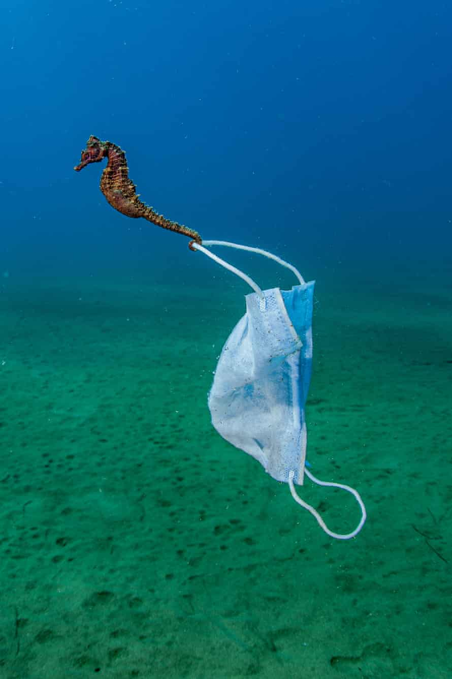 A seahorse that has anchored itself to a face mask, Halkidiki peninsula, Greece.