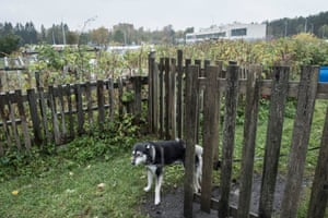 """A dog called """"friend"""" guards the pensioners' allotments that lay next to the training complex which can be seen in the background."""