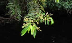 Virola surinamensis, a valuable timber tree in Caxiuanã National Fores, Brazil