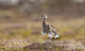 A curlew standing in grassland.