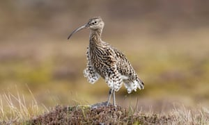 Curlew (Numenius arquata) population in the UK has declined 64% from 1970 to 2014, largely due to habitat loss.
