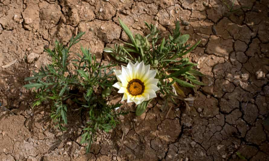 A gazania grows from the dusty soil.