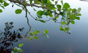 Alder tree branches and calm water surface.