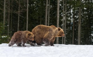 Bear mother and cub playing in the winter forest, Alaska