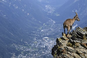 "A mountain sheep stands on rocks above the Chamonix valley in the famous ""Couloir du Goûter"", known as the best way to climb the Mont-Blanc peak, eastern France."