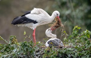 White storks build their nest in Linkenheim, Germany. Their breeding season starts at the beginning of March.