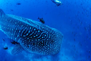 A procession of whale sharks pass by the rocky outcrop of lava and ash known as Darwin Arch