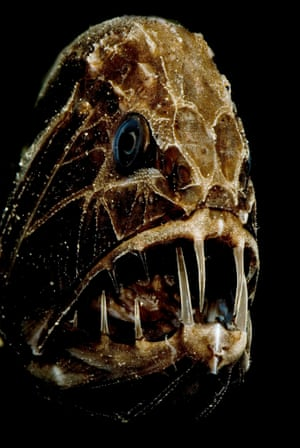 The common fangtooth, which has some of the biggest teeth for its size in the animal kingdom.