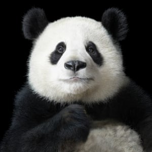 Ya Yun, meaning elegant, is a giant panda from the Chengdu panda research base in western China. The centre has successfully bred 120 giant pandas from just six that were rescued in 1987