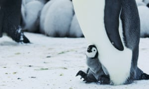 A newborn Emperor penguin, one of the stars of Earth from Space.