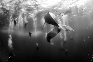 Nature, second prize, singles - Anuar Patjane Floriuk Whale whisperers: divers observe and surround a humpback whale and her newborn calf while they swim around Roca Partida in the Revillagigedo Islands, Mexico