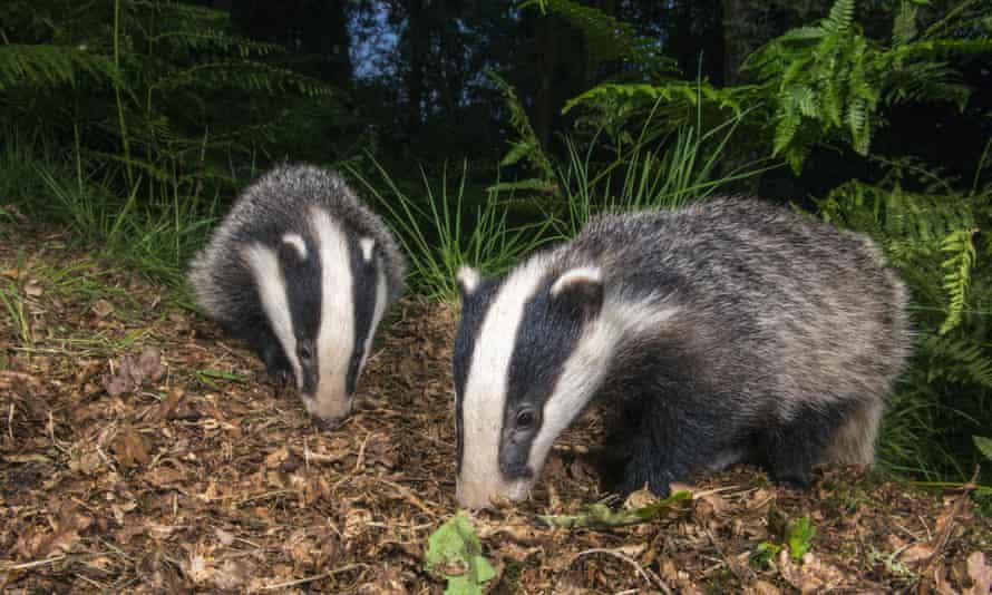 Badger cubs foraging