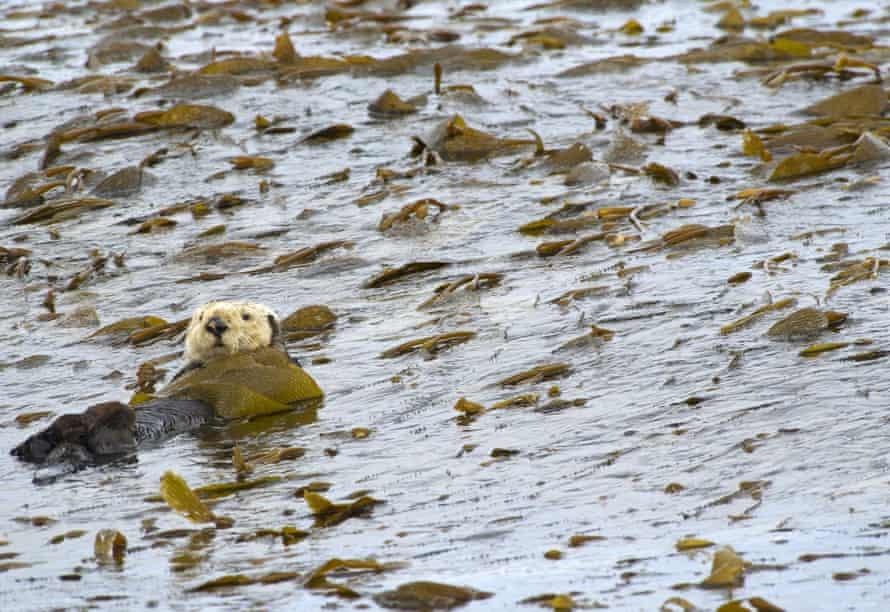 An otter eating kelp