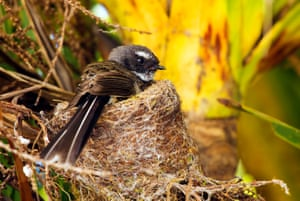 Fantails are some of New Zealand's smallest and most agile birds, surviving in some of the most toxic and corrosive environments in New Zealand.