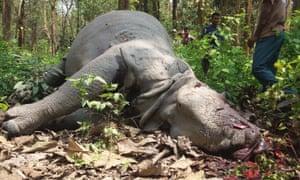 Dead rhino in Kaziranga national park