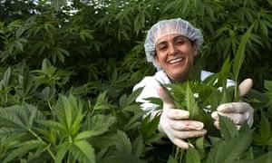 Hetem, a worker on Tikun Olam's medical marijuana farm