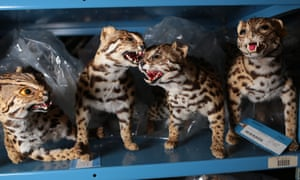 African cats and other contraband sit on shelves inside the National Wildlife Property Repository in Commerce City, Colorado, U.S., on Wednesday, May 31, 2017. Photographer: Matthew Staver