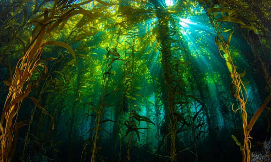Sunlight streaming through a kelp forest off California's Anacapa Island.