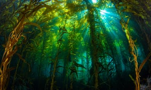 Sunlight streaming through a kelp forest off Anacapa Island, California.